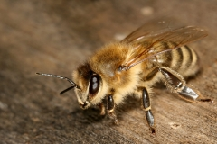 Apis_mellifera_carnica_worker_hive_entrance_3-e1524779272576